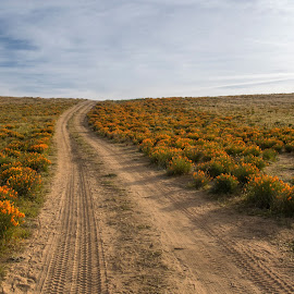 Dirt Road Through Poppies by Doug Chesser - Landscapes Prairies, Meadows & Fields ( douglas chesser, wildflowers, dirt road, poppies, doug chesser, antelope valley, poppy bloom, ca poppies )
