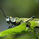 Spotted grasshopper