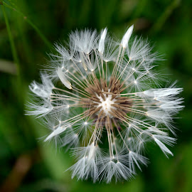 dandelion  by Alexandra Williams - Nature Up Close Other plants