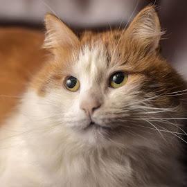 #котэ решил, что надо переделать)) by Nikolajs Slahta - Animals - Cats Portraits