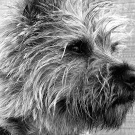 Harvey by Nicola Dowdall - Animals - Dogs Portraits