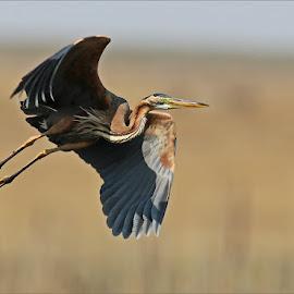 Purple heron by Johann Harmse - Animals Birds ( nature, action, heron, purple heron, in flight )