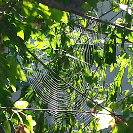 Web by Aaron Sargent - Nature Up Close Webs ( slime, green, spider, web, sun )