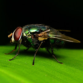 ~fly~ by Shohibul Huda - Animals Insects & Spiders ( macro, animals, macro photography, fly, indonesia, insect, animal )