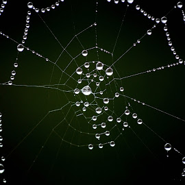 Trapped... by Goran Jordanski - Nature Up Close Natural Waterdrops ( water, macro, water drops, green, spiderweb, drops, web, spider, wet, waterdrops, water droplets, spider web, rain, water drop )