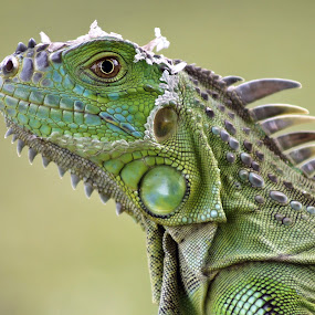 Iguana by Debra Martins - Animals Reptiles ( animals, nature, iguana, wildlife, reptile, animal )