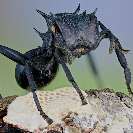 Ant cephalotes by Sergio Frada - Animals Insects & Spiders ( macro )