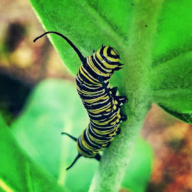 Monarch Caterpillar In The Garden by Anne LiConti - Instagram & Mobile Android ( #mobilephotography, #phonephoto, #mobile, #mobilephoto, #instagram, #monarchbutterflycaterpillar, #android, #phonephotography )