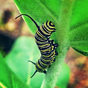 Monarch Caterpillar 2-12-2018.jpg