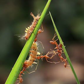 Malignancies of the ants to survive by Adhii Motorku - Animals Insects & Spiders