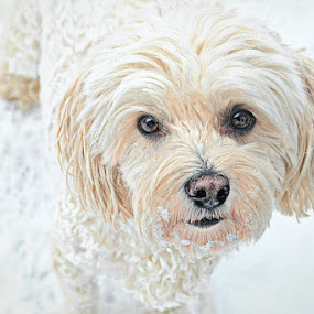 Snow Day Portrait 8 by B Lynn - Animals - Dogs Portraits ( mammals, animals, sweet, winter, dogs, hdr, cold, snow, white, puppy, dog, animal,  )
