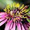 Ljubičasti cvijet sa žutim tučcima 2.jpg
