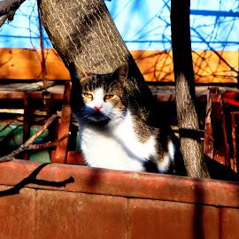 Camouflage by Sorin Di Rokko - Animals - Cats Portraits