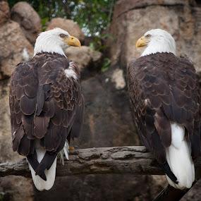 Bald Eagles at the Memphis Zoo by Mary Phelps - Animals Birds ( bird, memphis, bird of prey, eagle, zoo, tennessee, memphis zoo, bald eagle, birds,  )