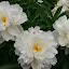 White Peonies by Sandy Hogan - Flowers Flower Gardens ( white flowers, flowers, peony, flower photography, peonies,  )