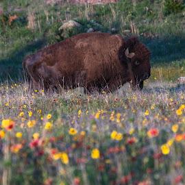 Buffalo In Wildflowers by Kathy Suttles - Digital Art Animals (  )