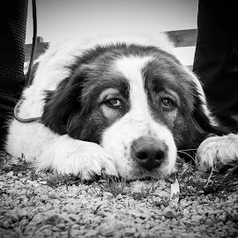 Just chillin' by Ivan Cindrić - Animals - Dogs Portraits ( potrait, black and white, funny, relaxing, dog )