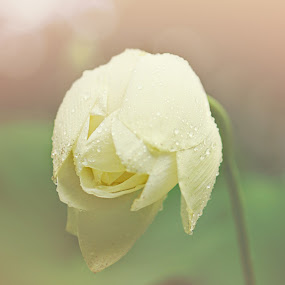 Morning Dew by Annamarie Dearr - Nature Up Close Flowers - 2011-2013