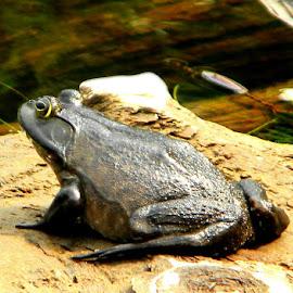 Big Ole Frog by Lisa Morejon - Animals Amphibians ( leaps, maine, frog, amphibian, pond )