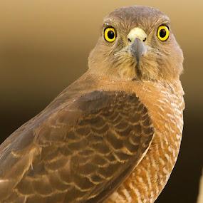 Shikra by S Balaji - Animals Birds ( s.balaji, wild, animals, nature, birds, shikra,  )