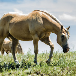 A Walk On The Prairie by Sheen Deis - Animals Horses ( nature, horses )