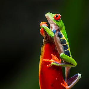 Czerwona żaba6..jpg