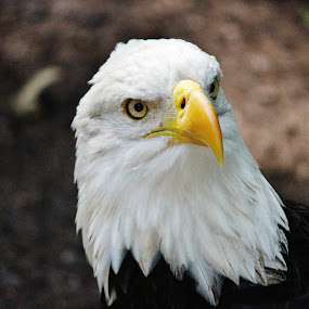 Regal Eagle by Keri Butcher - Animals Birds ( america, bald eagle, wildlife, eagles, birds )