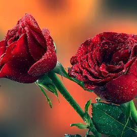 by Rakesh Syal - Flowers Flower Gardens (  )
