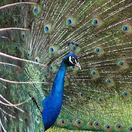 by Shawn Chapman - Animals Birds