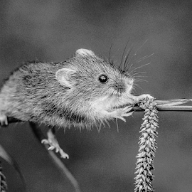 Harvest Mouse by Garry Chisholm - Black & White Animals ( mice, nature, harvest mouse, garrychisholm, rodent, mammal )