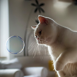 Bubble soap by Roberto Di Patrizi - Animals - Cats Playing ( playing, bubble, cat, white, soap,  )