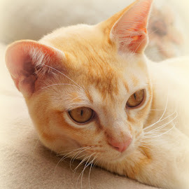 Tom by Caroline Beaumont - Animals - Cats Portraits ( kitten, cat, red, burmese, eyes )