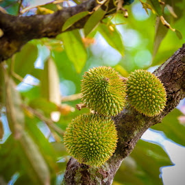 My Baby Durian by Eeezam Mon - Nature Up Close Gardens & Produce