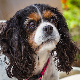 Bridget by Dave Lipchen - Animals - Dogs Portraits ( bridget, king charles spaniel )