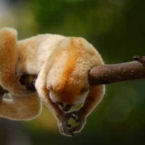 Kuskus Sleeping Beauty by Asep Sugema - Animals Other