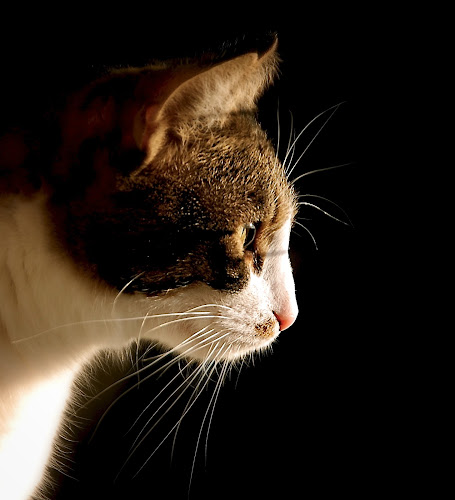 ali by Almasa Dalan - Animals - Cats Portraits