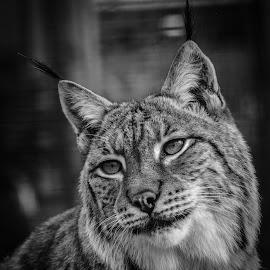 Petra by Garry Chisholm - Black & White Animals ( garry chisholm, predator, cat, nature, black and white, lynx, wildlife )