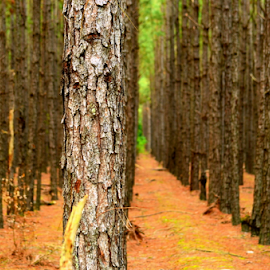 can't see the forest for the trees... by Pam Satterfield Manning - Nature Up Close Trees & Bushes ( pines, forrest, patterns, nature, trail, pine needles, nature up close, trees, trees and bushes, leaves, tree bark, tree trunk, golden,  )