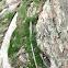Rusty Swan-neck Moss