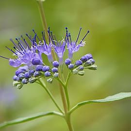 by Helena Jirasová - Flowers Tree Blossoms ( flowering shrub )