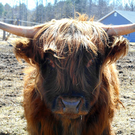 Hi there! by Sandy Davis DePina - Animals Other ( happy, cow, springtime, spring )