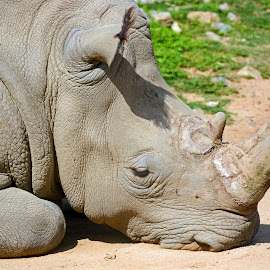 Rhino Posin by Patti North - Animals Other ( rhino )