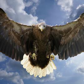 SeaEagle by EH Soh - Animals Birds (  )