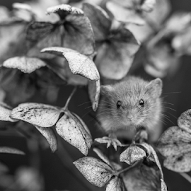 Mouse by Garry Chisholm - Black & White Animals ( mouse, macro, nature, rodent, mice, garry chisholm )