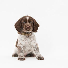 Stan Portrait  by Jude Stewart - Animals - Dogs Puppies ( spaniel, puppy, portrait, cocker )