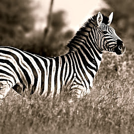 Standing Proud by Pieter J de Villiers - Black & White Animals