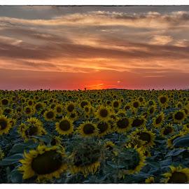 Sunflowers sunset 2 by Vanja Vidaković - Landscapes Sunsets & Sunrises