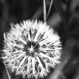 Blk and white dandylion by Heather Gustner - Black & White Flowers & Plants ( art, black and white, flower, dandelion, canon )