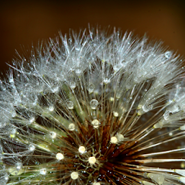 by Dipali S - Nature Up Close Other plants ( plant, pastel, old, dew, fragility, beauty, dandelions, spring, bokeh, sun, nature, seeds, light, closeup, flower, water, abstract, flora, grass, texture, weed, silver, close-up, soft, fluffy, droplet, color, blue, pappus, outdoor, drops, meadow, summer, raindrop, stem, part, flare, softness, floral )
