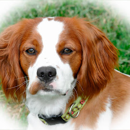 Blake by Nancy DeGroot - Animals - Dogs Portraits